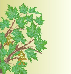 Maple old branch and leaves background vector image vector image