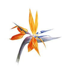 watercolor bird paradise flower vector image