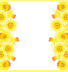 yellow daffodil - narcissus border on white vector image