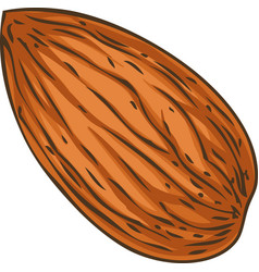 Shelled almond vector