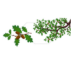 a green branch of a large oak tree with acorns and vector image