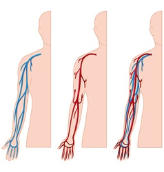 Blood vessels in human hand vector