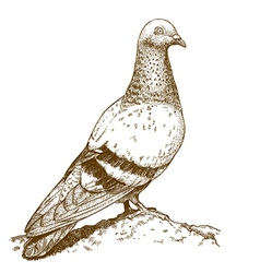 Engraving pigeon vector