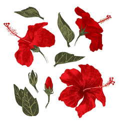 hand drawn hibiscus leaves flowers and buds vector image