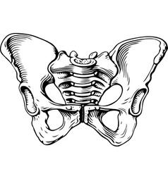 Human pelvis female vector image vector image