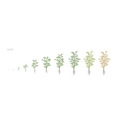 lentil soybean lens culinaris growth stages vector image
