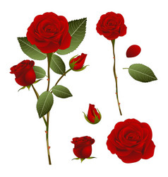Beautiful red rose - rosa valentine day vector