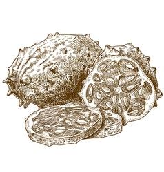 engraving hornedmelon vector image vector image