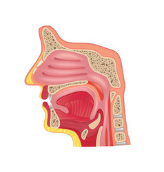 nose anatomy isolated vector image vector image