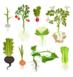 flat set of vegetables with roots organic vector image