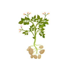 potato plant with green leaves and small blooming vector image