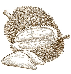 Engraving durian fruit vector