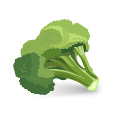 Broccoli green plant isolated vector
