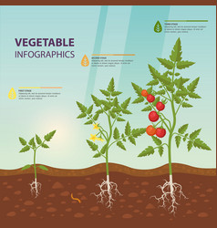 tomato infographic for growing stages vector image