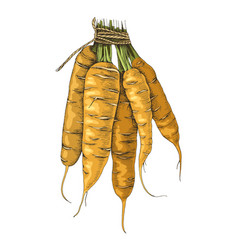 Hand drawn carrot bunch vector