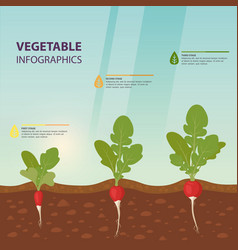 radish infographics with growth stages vector image
