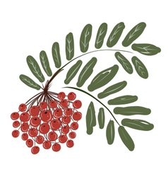 Rowan branch with berries for your design vector