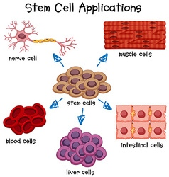 Poster showing different stem cell applications vector