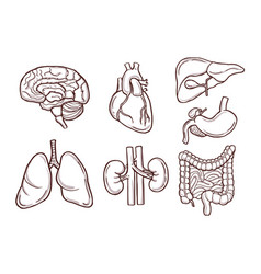 hand drawn human organs medical vector image