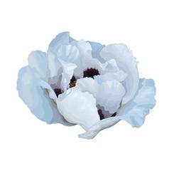 Plant paeonia arborea tree peony white flower vector