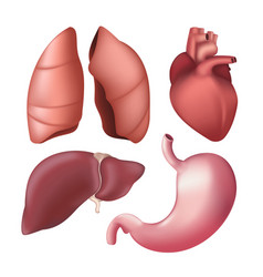 set realistic human internal organs - lungs vector image