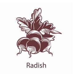 radish hand drawn sketch detailed organic product vector image