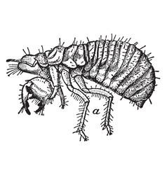 Nymph of cicada vintage vector