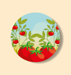 plantation vegetable harvesting tomato vector image