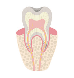 Tooth with nerve and root view colorful silhouette vector