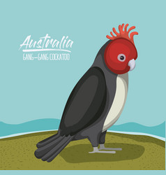 Australia gang-gang cockatoo poster in outdoor vector