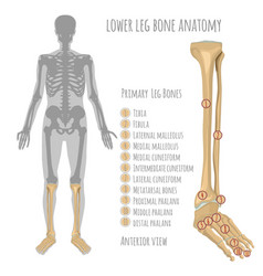 Lower leg bone anatomy vector