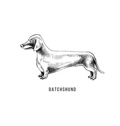 hand drawn dachshund vector image