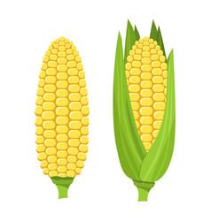 Fresh ripe corn cob colorful vector