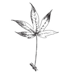 Acanthopanax ricinifolium variation maximowiczii vector
