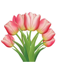 bouquet of tulips on white background vector image