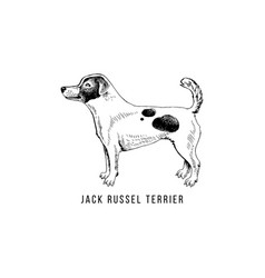 hand drawn jack russel terrier vector image