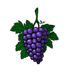 hand drawn grape in engraving style design vector image