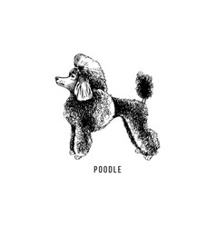 hand drawn poodle vector image