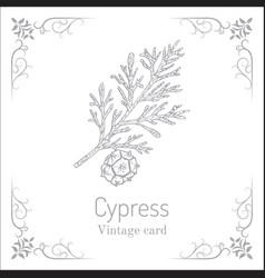 Mediterranean cypress branch cupressus vector