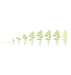 Crop stages chickpea growing animation chick vector