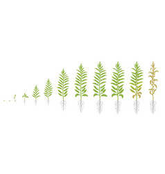 Crop stages sesame growing sesame plant also vector