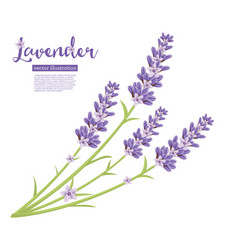 branch of lavender flowers isolated on white vector image