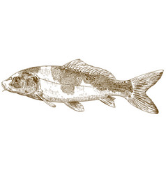 engraving of koi carp vector image
