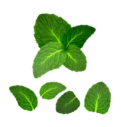 Mint leaf freshness spice herbal plant set vector