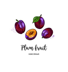 plum fruit graphic drawing watercolor plums on a vector image
