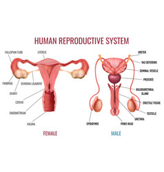 realistic human reproductive system vector image