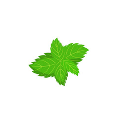 raw mint herb green leaves icon red healthy food vector image