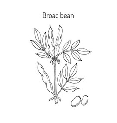 Broad beans or fava beans vector