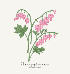 hand drawn dicentra pink heartshaped spring vector image