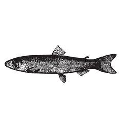 Salmon vintage vector
